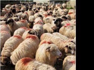Neatent: A intrat cu motocicleta într-o turmă de oi