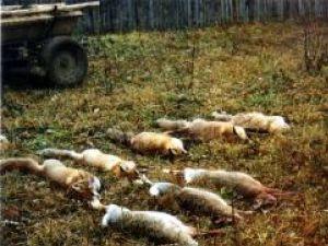 Campanie: Vulpile din judeţ, împuşcate pe capete de frica rabiei