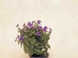 Plante de apartament: Browallia, un arbust frumos şi rezistent