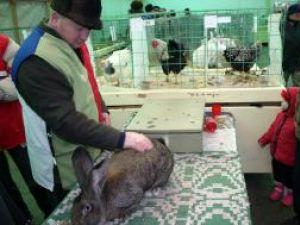 Ieri la prânz, iepurii uriaşi înscrişi la concurs intraseră pe mâna arbitrilor