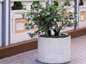 Plante de apartament: Brunfelsia, un arbust mereu verde