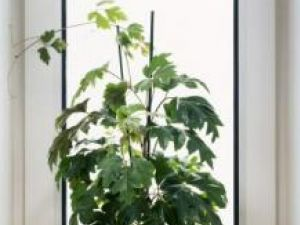 Plante de apartament: Cissus, viţa de cameră