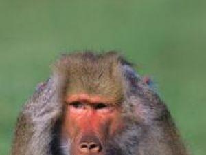 Studiu: Maimuţele, la fel de talentate pentru calculul mintal ca şi oamenii