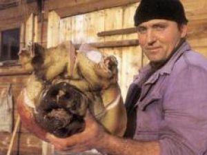 Tradiţii: Povestea Porcului