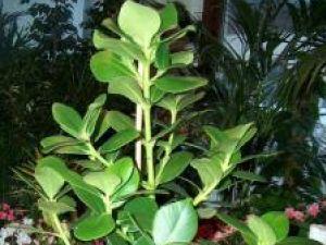 Plante de apartament: Clusia rosea, un arbust cu flori parfumate