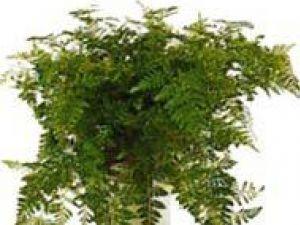 Plante de apartament: Davallia canariensis, feriga din Insulele Canare