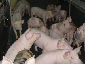 Ferme: Afaceri cu porci