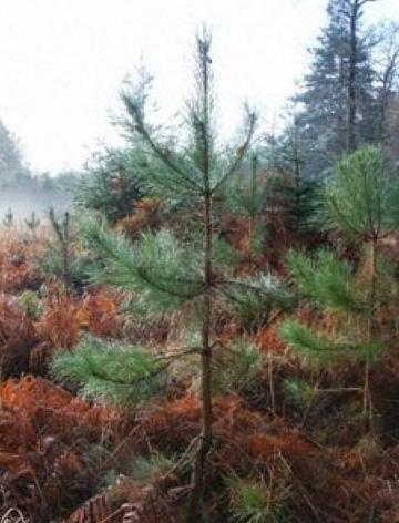 Cinci milioane de puieţi pentru regenerarea pădurilor Sucevei