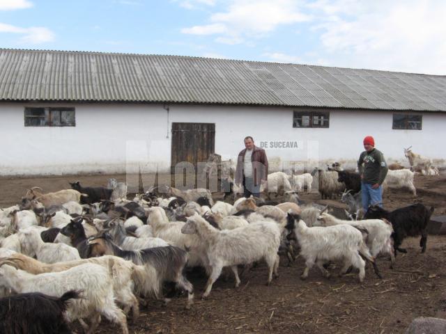 Octavian Cuzencu, la ferma sa de capre