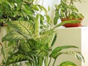 Dieffenbachia Botanicon