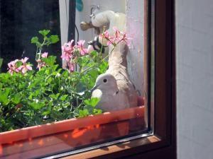 Semn: Turturică în geam la Flutur