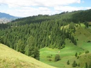 Sucevenii vor putea cumpăra brazi din pădurile Sucevei, scoşi la vânzare de Direcţia Silvică Suceava