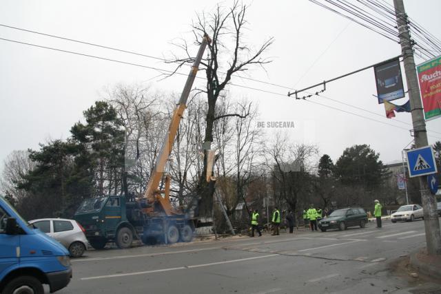 Acţiuni preventive: Atenţie, se taie copacii bătrâni!
