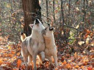 Tot mai mulţi lupi în pădurile judeţului. Foto: farm3.static.flickr.com