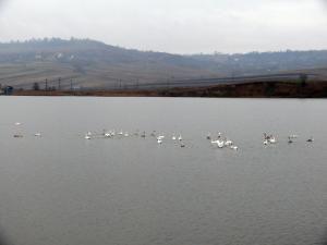 Iazurile de la Fălticeni devin iarna un adevărat paradis al păsărilor sălbatice, prin prezenţa lebedelor