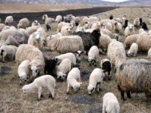 Oile vor fi sacrificate la un abator din Botoşani