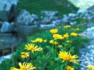 Arnica este recomandată în creşterea imunităţii organismului. Foto: ALAMY