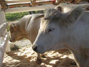 Două taurine uriaşe de culoare bej din Moara, din rasa Charolaise