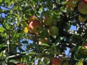 Târg: A şaptea ediţie a Târgului Mărului la Fălticeni