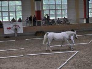 Premieră: Cele mai valoroase exemplare din lume de cai arabi din rasa Shagya se vor întruni anul viitor la Rădăuţi