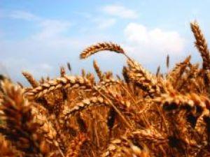 Genomul grâului, secvenţiat parţial de cercetătorii britanici
