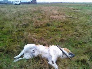 Câinii ciobăneşti de la o stână au fost împuşcaţi cu o armă de vânătoare