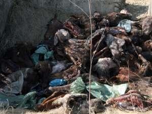 80 de capete de cai au fost aruncate în lunca Sucevei, în apropierea viitorului pod al şoselei de centură