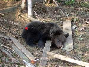 Puiul de urs a avut mare noroc