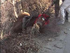 Un cal sleit de puteri s-a prăbuşit peste gardul de la marginea trotuarului şi nu s-a mai putut ridica