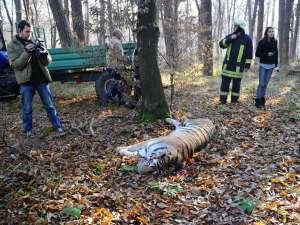 Tigrul care a fugit de la Grădina Zoologică din Sibiu şi a ajuns într-un cartier de locuinţe a fost împuşcat. Foto: MEDIAFAX