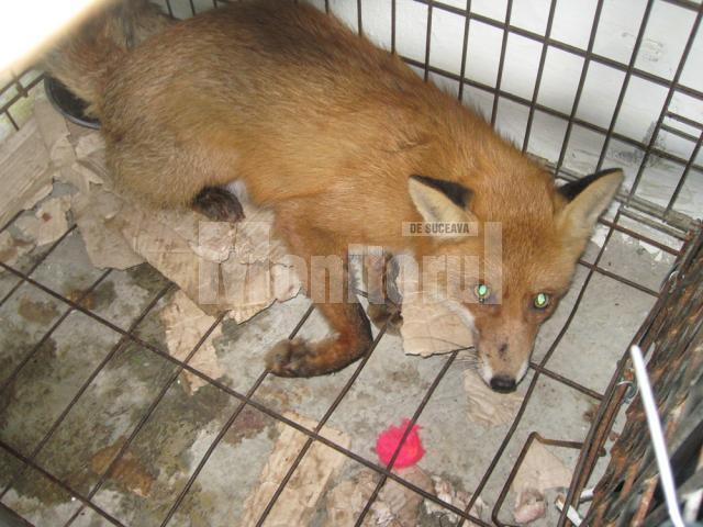 Împuşcată cu pistolul cu tranchilizante, vulpea a fost dusă la adăpostul de câini din lunca Sucevei, unde a fost închisă într-o cuşcă
