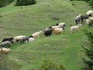 Păşunile Câmpulungului sunt concesionate periodic prin licitaţie unor organizatori de stâne şi văcării
