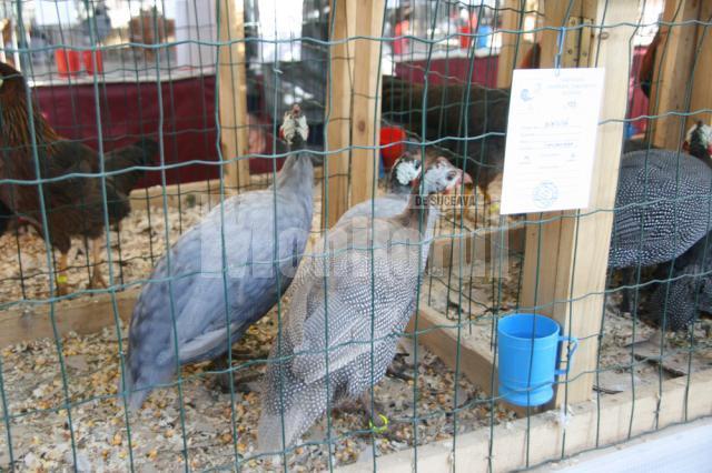 Târg de porumbei, găini şi iepuri, în piaţa agroalimentară din Iţcani