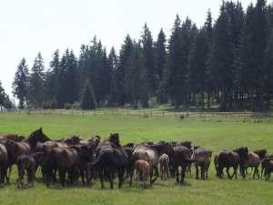 Huţulii - caii munţilor