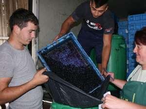 Fructele de pădure sunt aduse la Sadova din centrele de colectare din judeţ