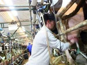 Cele mai multe locuri sunt pentru lucrători calificaţi în ferme de creştere a animalelor în Danemarca. Foto: adevărul.ro