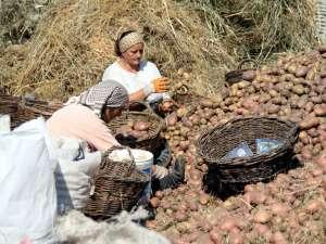 Anul acesta, producţia de cartofi va fi mult mai mică din cauza secetei