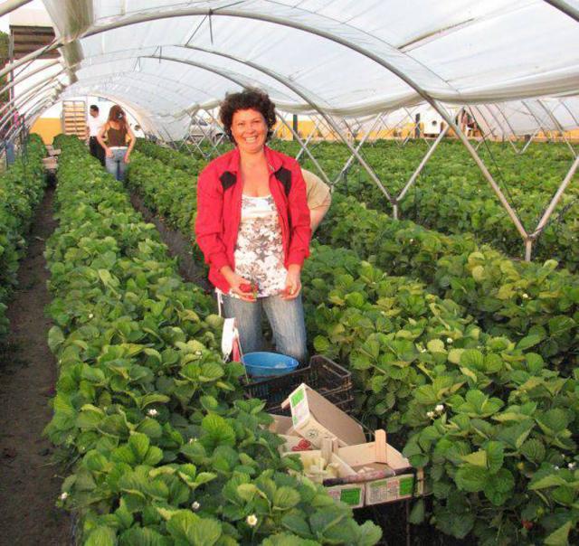 Culegătorii de căpșuni sunt plătiți în funcție de cantitatea recoltată Foto: evz.ro