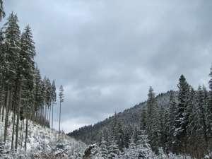 Şapte bărbaţi, prinşi în flagrant în pădure după ce au pus la pământ 28 de arbori