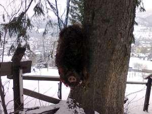 Conform unui vânător, mistreţul a fost folosit ca momeală pentru a atrage şi împuşca maidanezi
