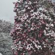 Rododendron în zăpadă