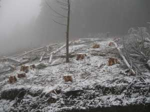 Au fost tăiaţi 126 de arbori nemarcaţi, specia răşinoase