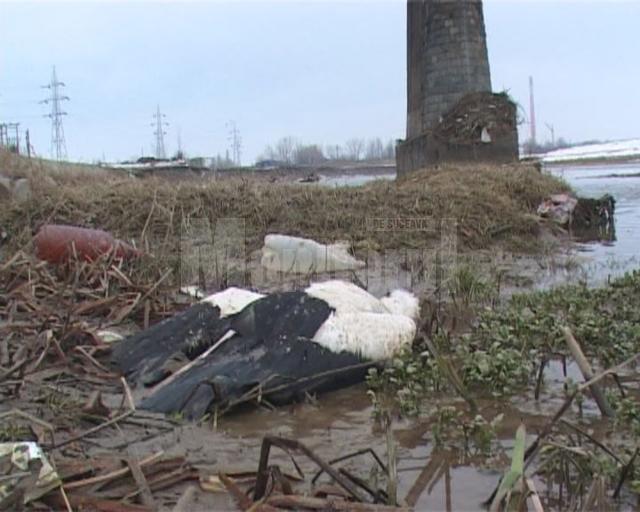 Pe malul râului Suceava, au fost mai multe berze moarte şi multe altele în agonie