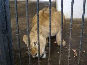 leoaică la zoo