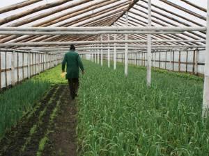 În sera de la Bursuceni, Vasile Mătrăşoaie cultivă patru tipuri de salată