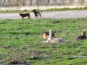 Câinii vor fi duşi în noul adăpost din lunca Sucevei