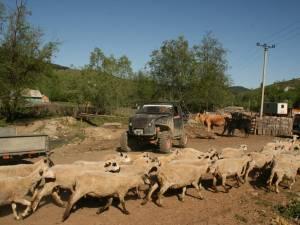 Oile, vacile şi maşinile de teren pleacă împreună în transhumanţă