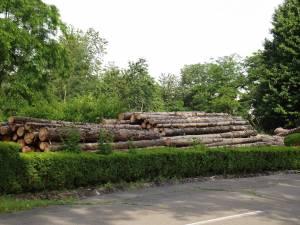 Arbori cu o vechime de aproximativ 50 de ani au fost tăiaţi recent, după ce, din cauza secetei din ultimii ani şi a atacului gândacilor de scoarţă