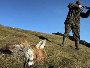 Partidă de vânătoare de câini şi vulpi, încheiată cu împuşcarea unui cioban