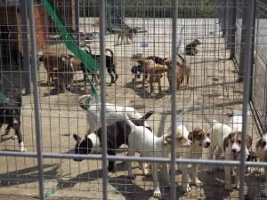 Sute de căţeluşi abandonaţi de stăpânii lor, unul din efectele nedorite ale animalelor de curte nesterilizate